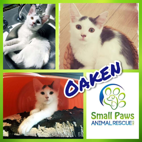 Oaken - Domestic Medium Hair Cat