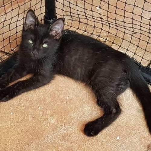 Marcus - Domestic Short Hair Cat