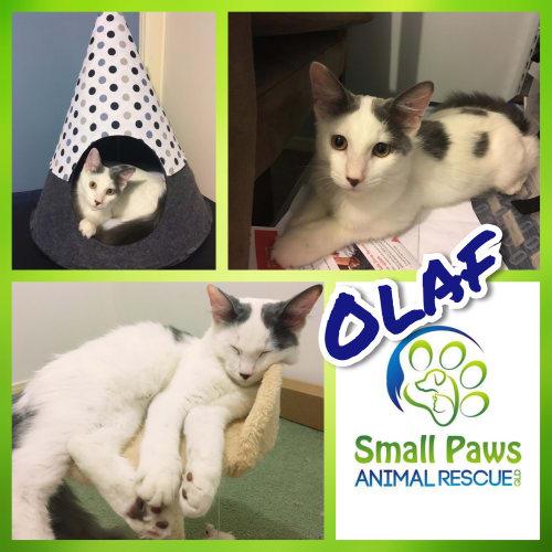 Olaf - Domestic Medium Hair Cat