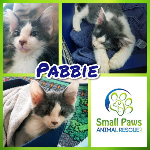 Pabbie - Domestic Medium Hair Cat