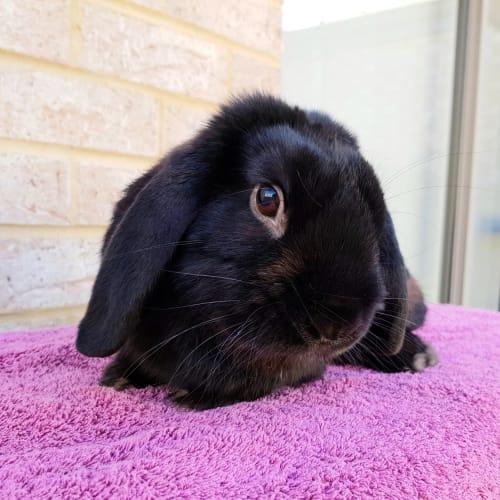 Mack  *On Trial* - Dwarf lop Rabbit