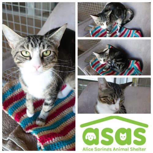 Jessie  CT19-073 - Domestic Short Hair Cat