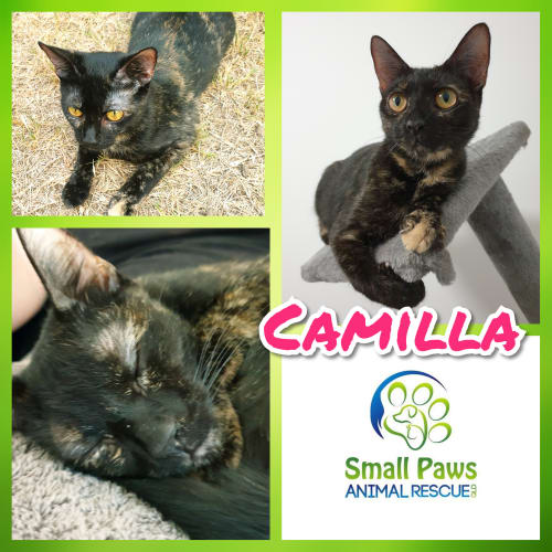 Camilla  - Domestic Short Hair Cat