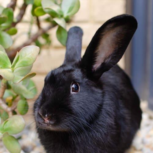 Dobby - Dwarf Rabbit