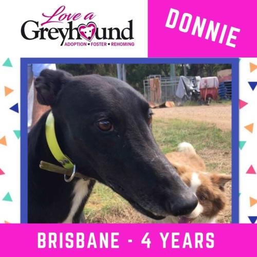 Donnie - Greyhound Dog