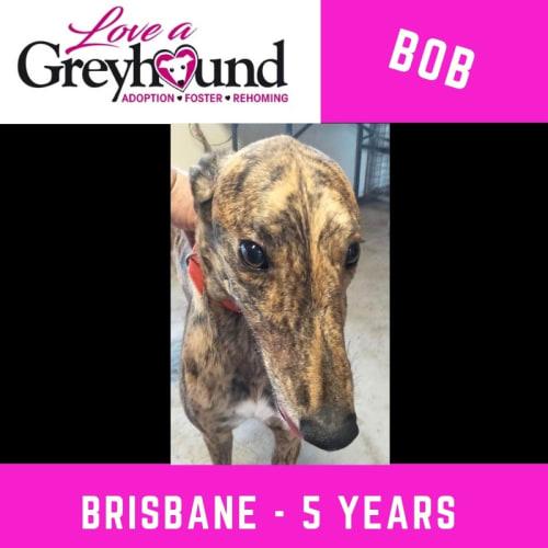 Bob - Greyhound Dog