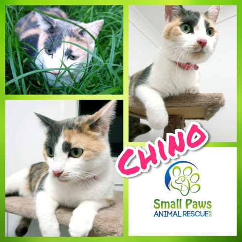 Chino - Domestic Short Hair Cat