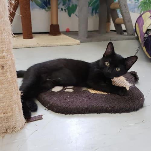 Austin - Domestic Short Hair Cat