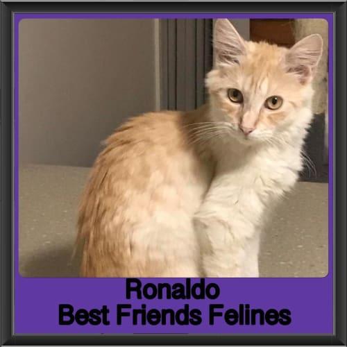 Ronaldo  - Domestic Medium Hair Cat