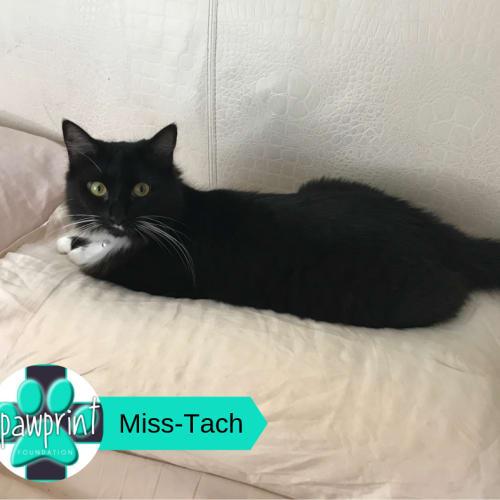 Miss-Tach - Domestic Long Hair Cat
