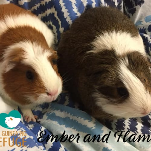 Ember and Flame - Smooth Hair Guinea Pig