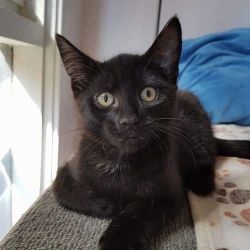 Kenny ^^Dandy Cat Rescue^^ - Domestic Short Hair Cat