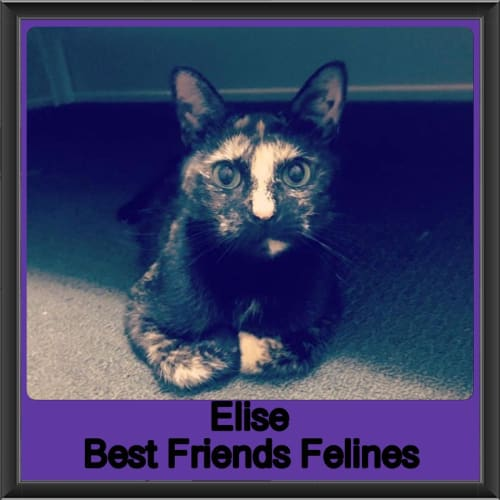 Elise - Domestic Short Hair Cat