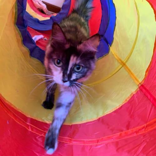 Queeny - Domestic Medium Hair Cat