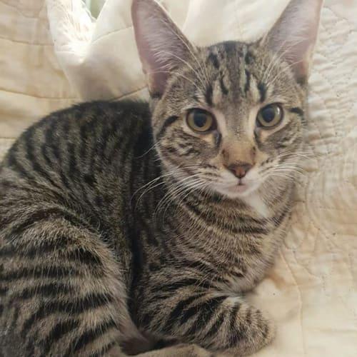 Rory  - Domestic Short Hair Cat