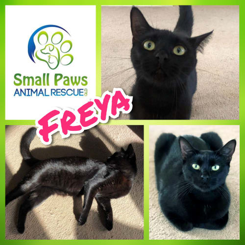 Freya - Domestic Short Hair Cat