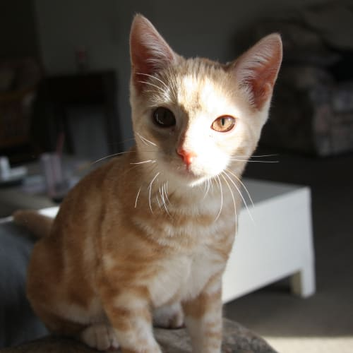 Creampuff (Located in Frankston) - Domestic Short Hair Cat