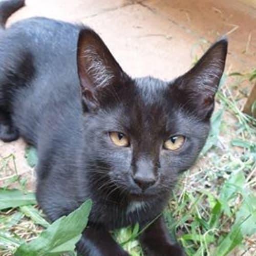 Cally - Domestic Short Hair Cat