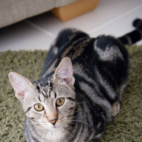 AK3037 - Tiny  - Domestic Short Hair Cat