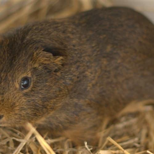 Piggy G -  Guinea Pig
