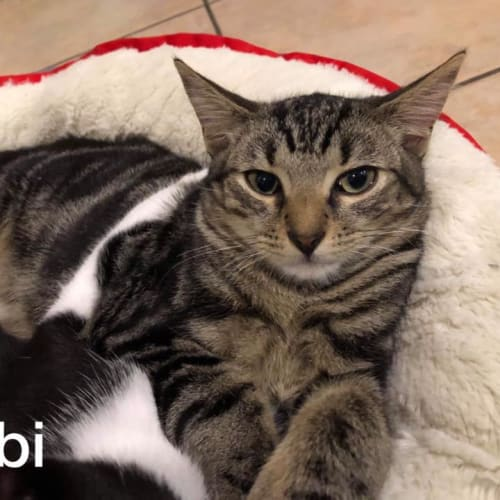 Obi-Wan - Domestic Short Hair Cat
