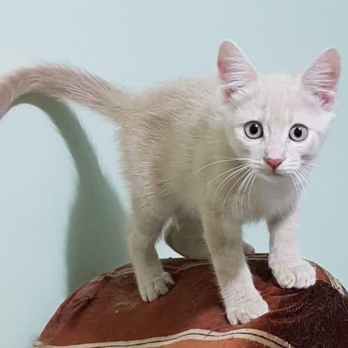 Nugget - Domestic Short Hair Cat