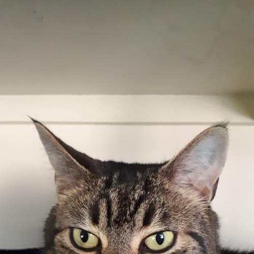 Zani (Located in Greensborough) - Domestic Short Hair Cat
