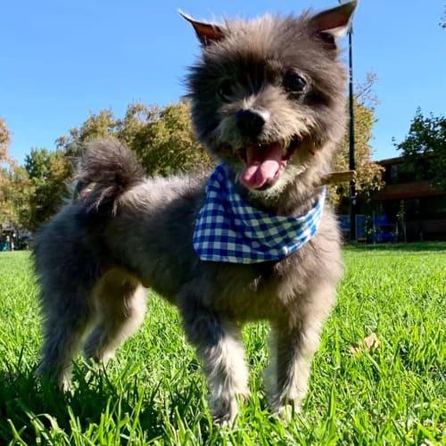 Ben - Skye Terrier Dog