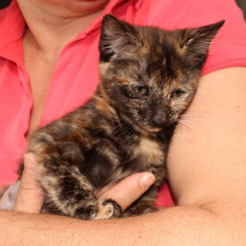 Sienna **2nd Chance Cat Rescue** - Domestic Short Hair Cat