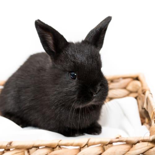 Raven - Dwarf Rabbit