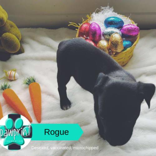 Rogue - Mastiff x Staffy Dog