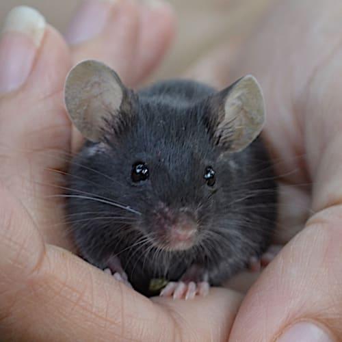 Ash -  Mouse