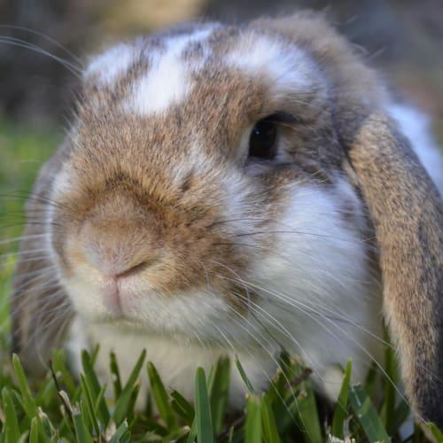Scooter - Mini Lop Rabbit