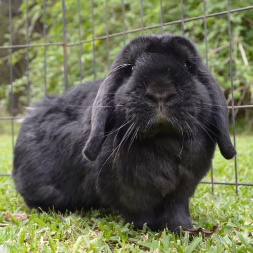 Thumper - Mini Lop Rabbit