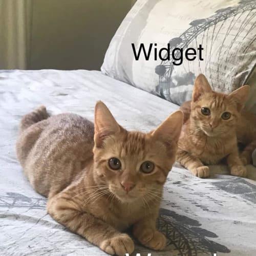 Weasel - Domestic Short Hair Cat