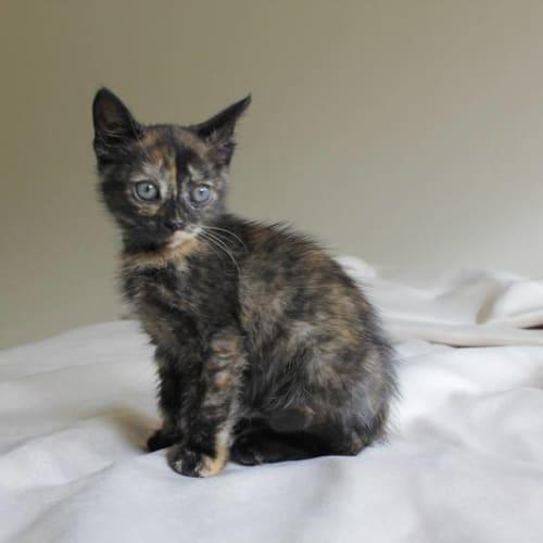 Ellenbrook - Domestic Short Hair Cat