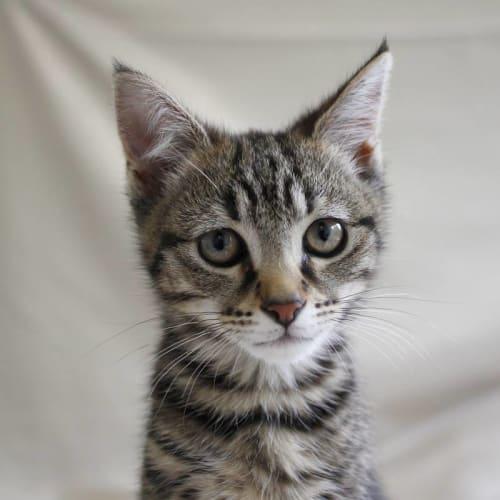Taylor - Domestic Short Hair Cat
