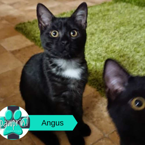 Angus - Domestic Medium Hair Cat