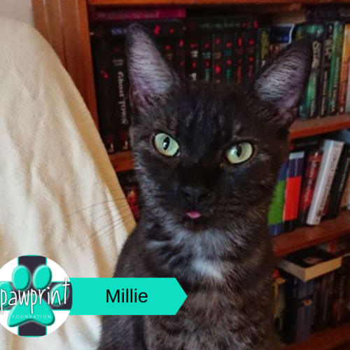 Millie - Domestic Short Hair Cat