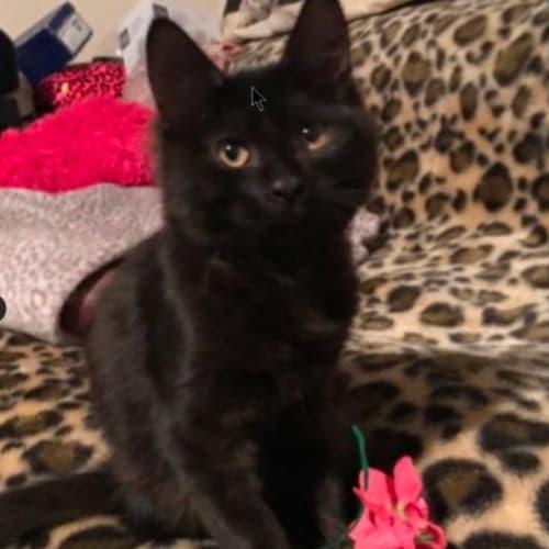 Galliano - Domestic Short Hair Cat