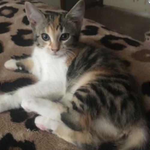 Havana - Domestic Short Hair Cat
