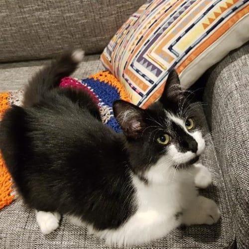 Missy Moo - Domestic Medium Hair Cat
