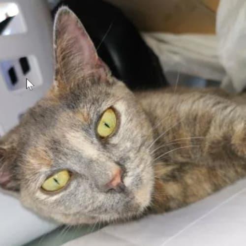 Alexandra - Domestic Short Hair Cat