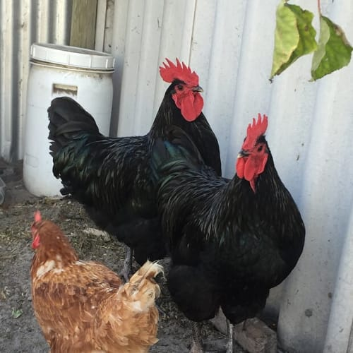 Henry & George -  Rooster