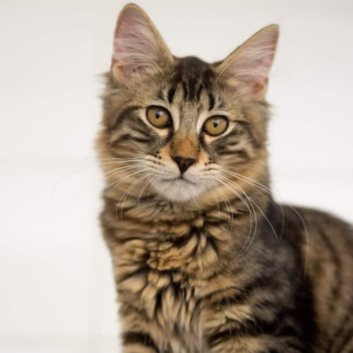 Pauly **On Trial With My New Family** - Domestic Medium Hair Cat