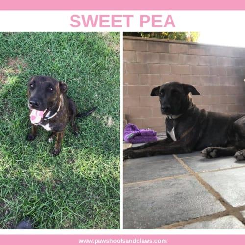 Sweet Pea - Cross breed x Staffy Dog