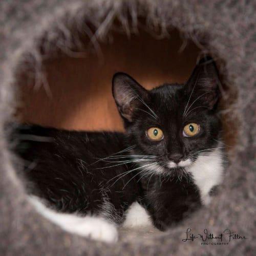 Jessica - Domestic Short Hair Cat