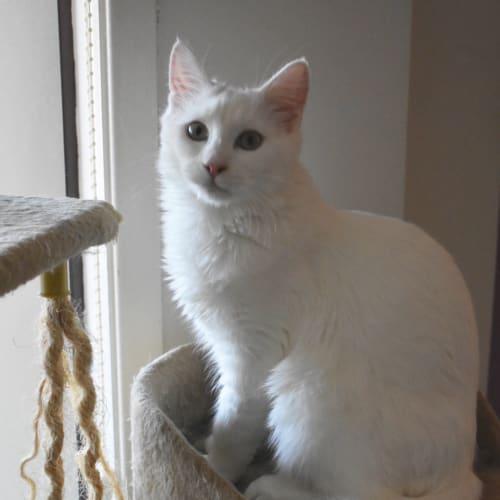 ❤️8 Mth Super Lovebug Onyx - Turkish Angora X❤️ - Angora x Domestic Medium Hair Cat