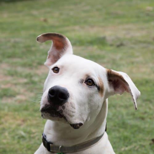 Flint - Australian Bulldog x Bull Arab Dog