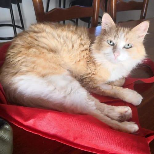 Marli - Domestic Long Hair Cat